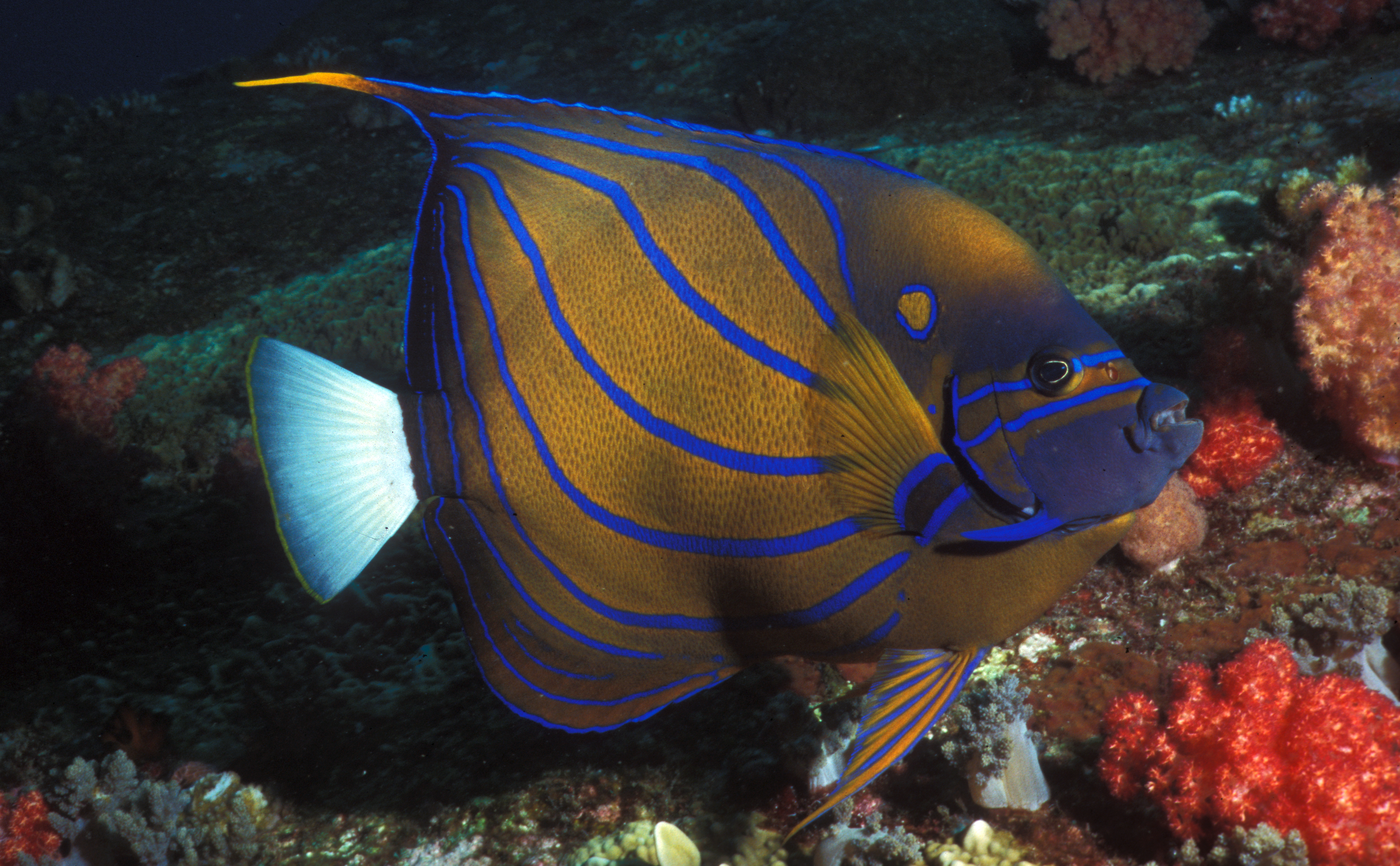 Blue - Ringed Angelfish