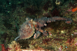 Giant Black Octopus
