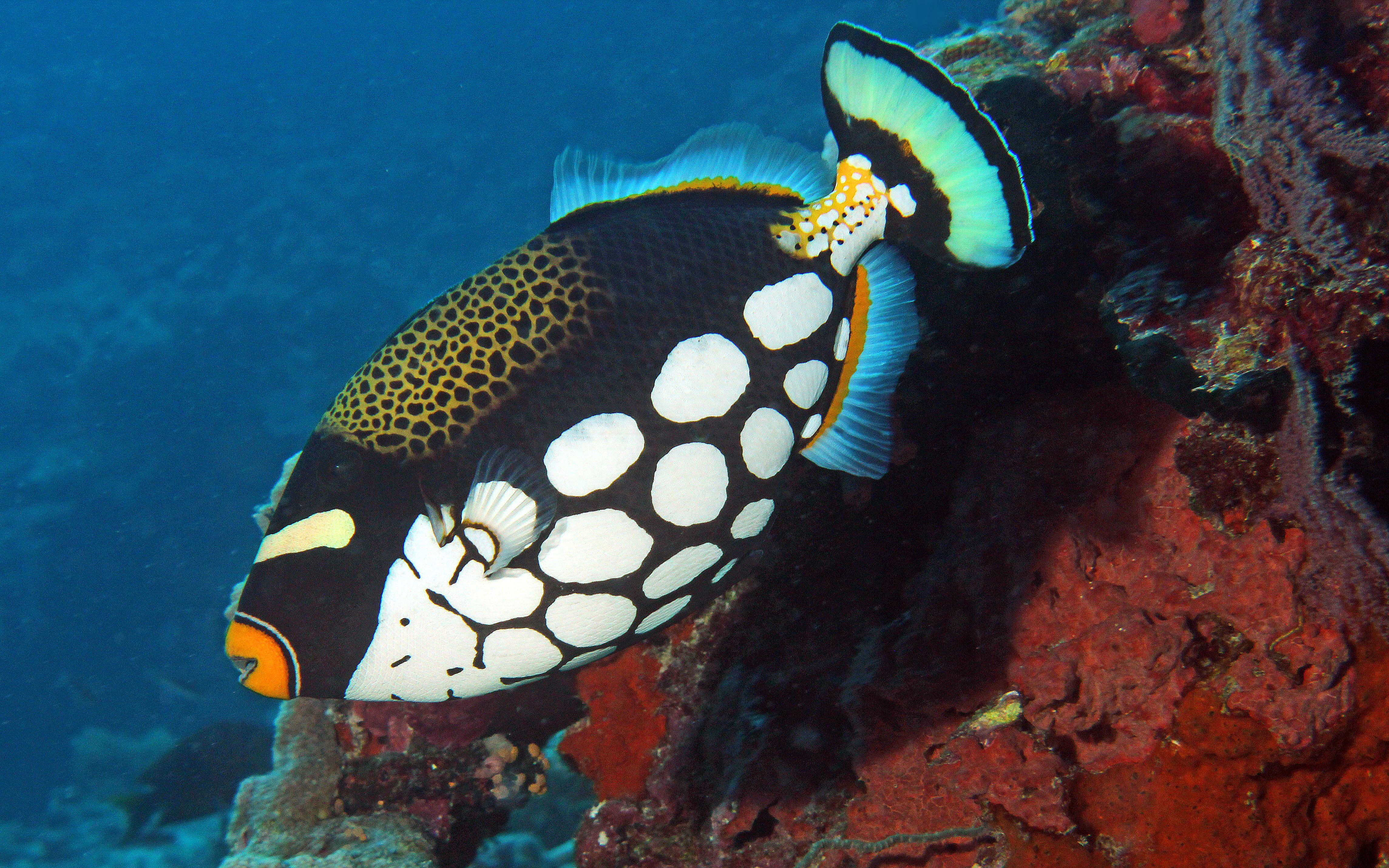 Leopardendrückerfisch