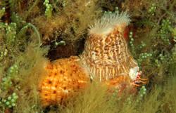 Hermit Crab Anomenie