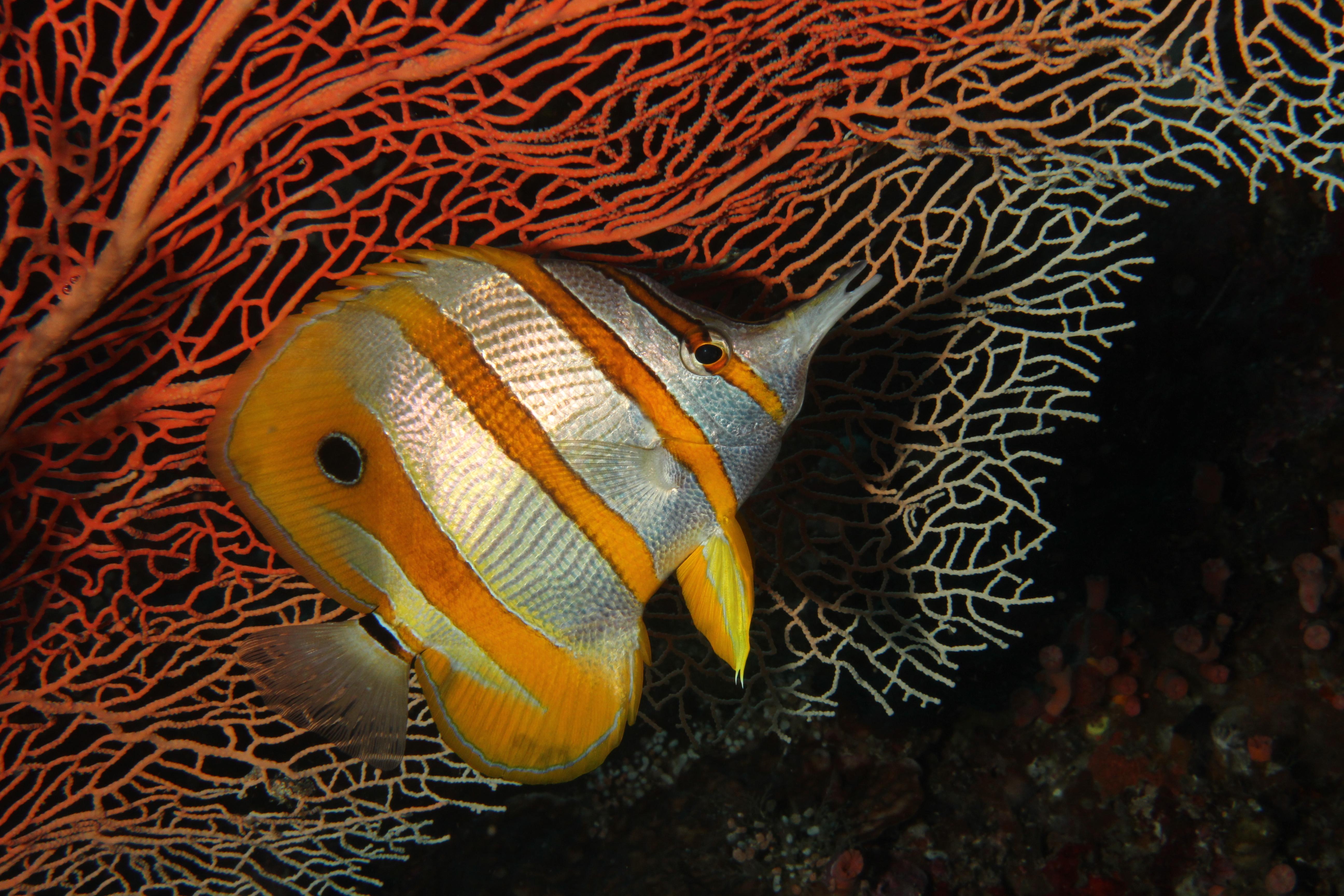 Longbeaked Coralfish