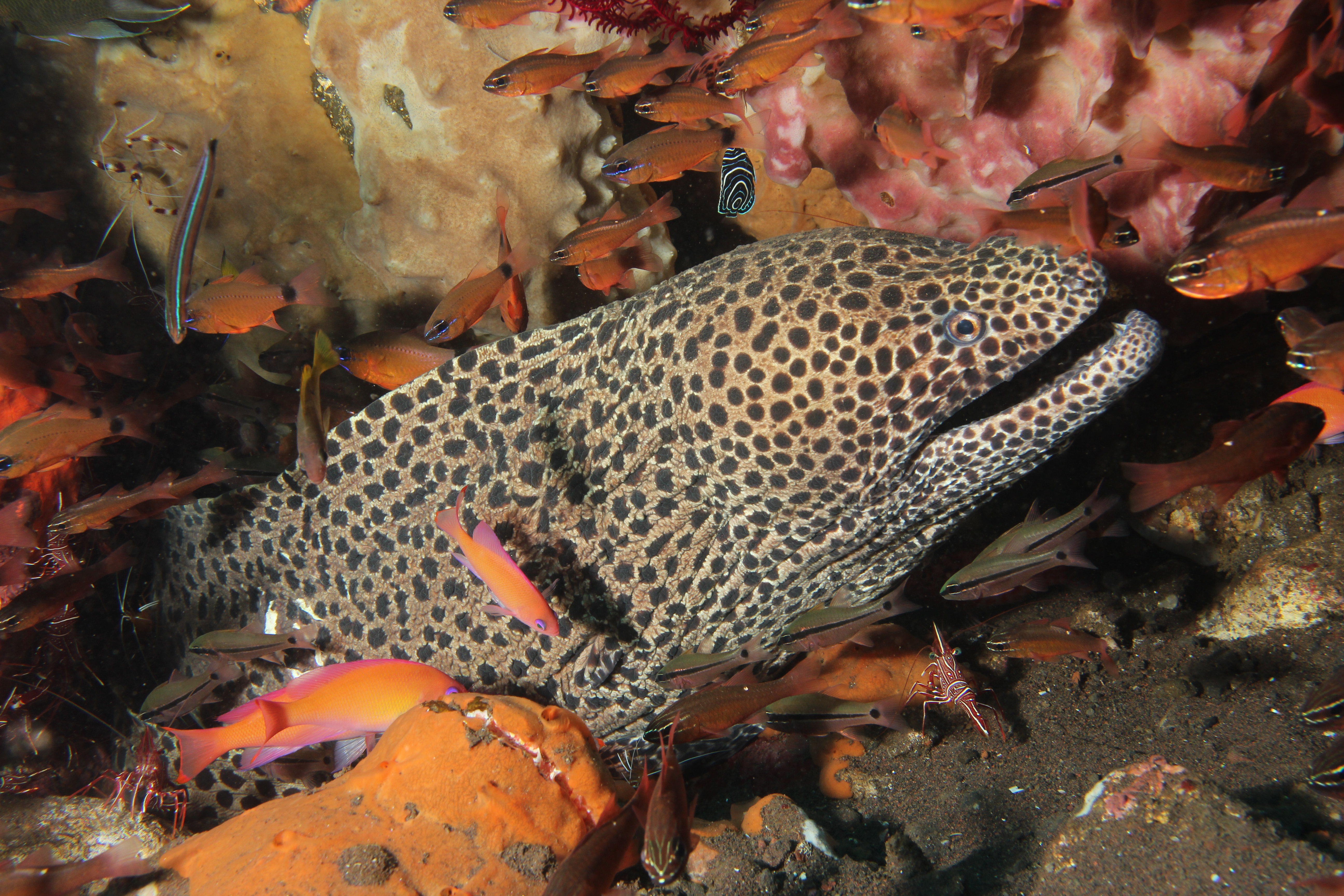Blackspotted Moray