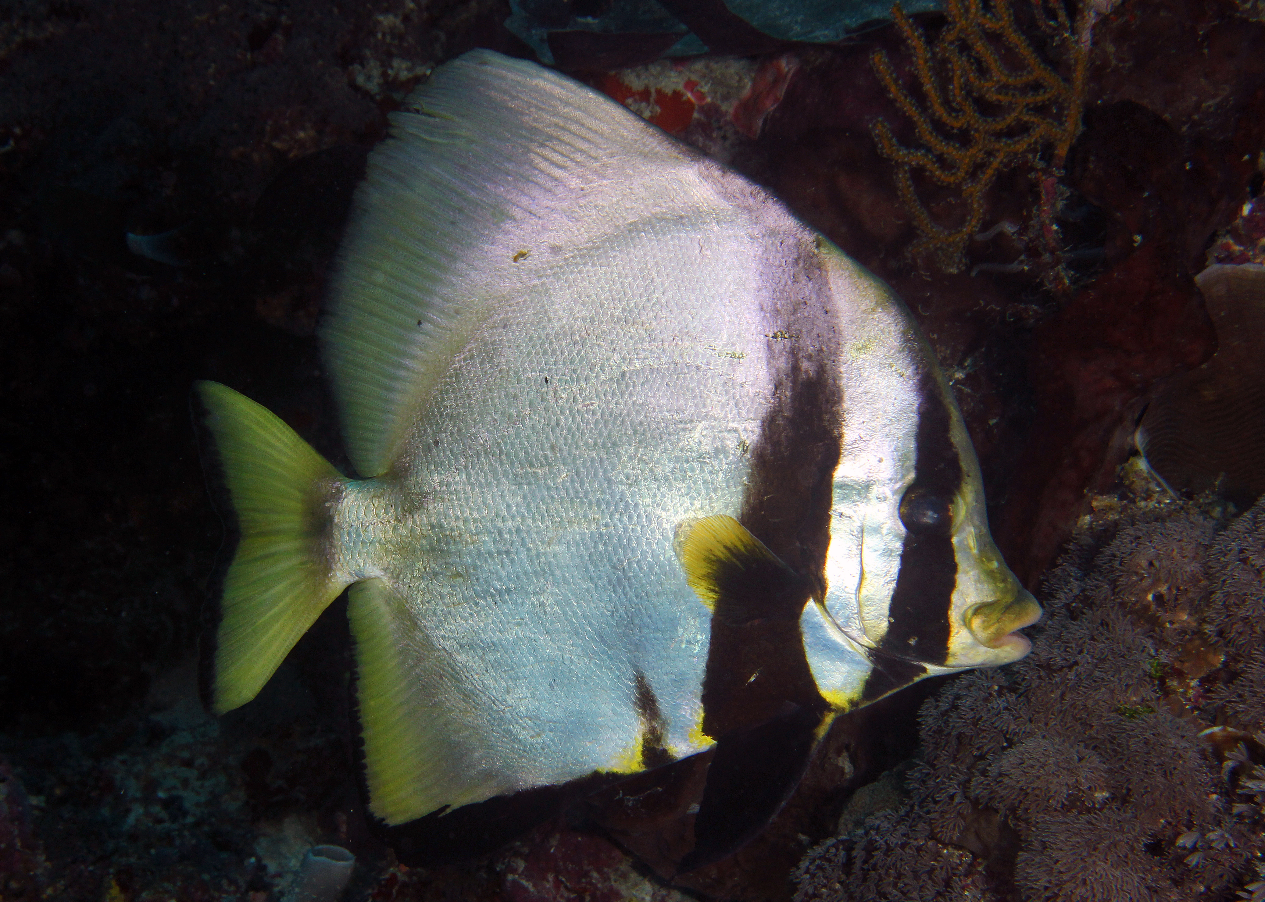 Pinnate Spadefish Adult