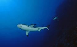Gray Reefshark