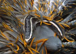 Crinoid Klingfish