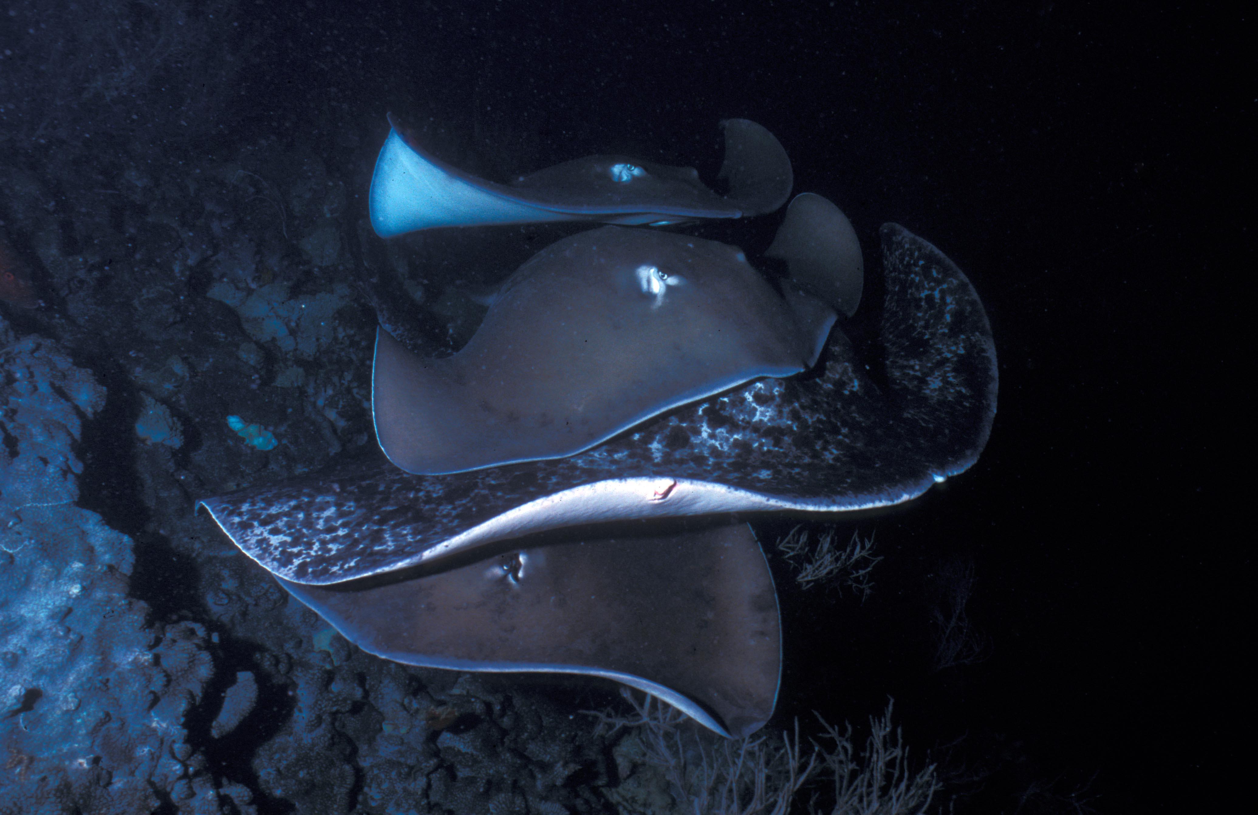 Tahitian and Marpeled Stingrays