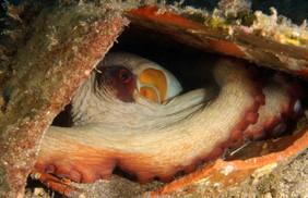 Octopus vulgaris, Common octopus, Oktopus.