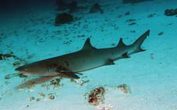 Withe Tip Reefshark
