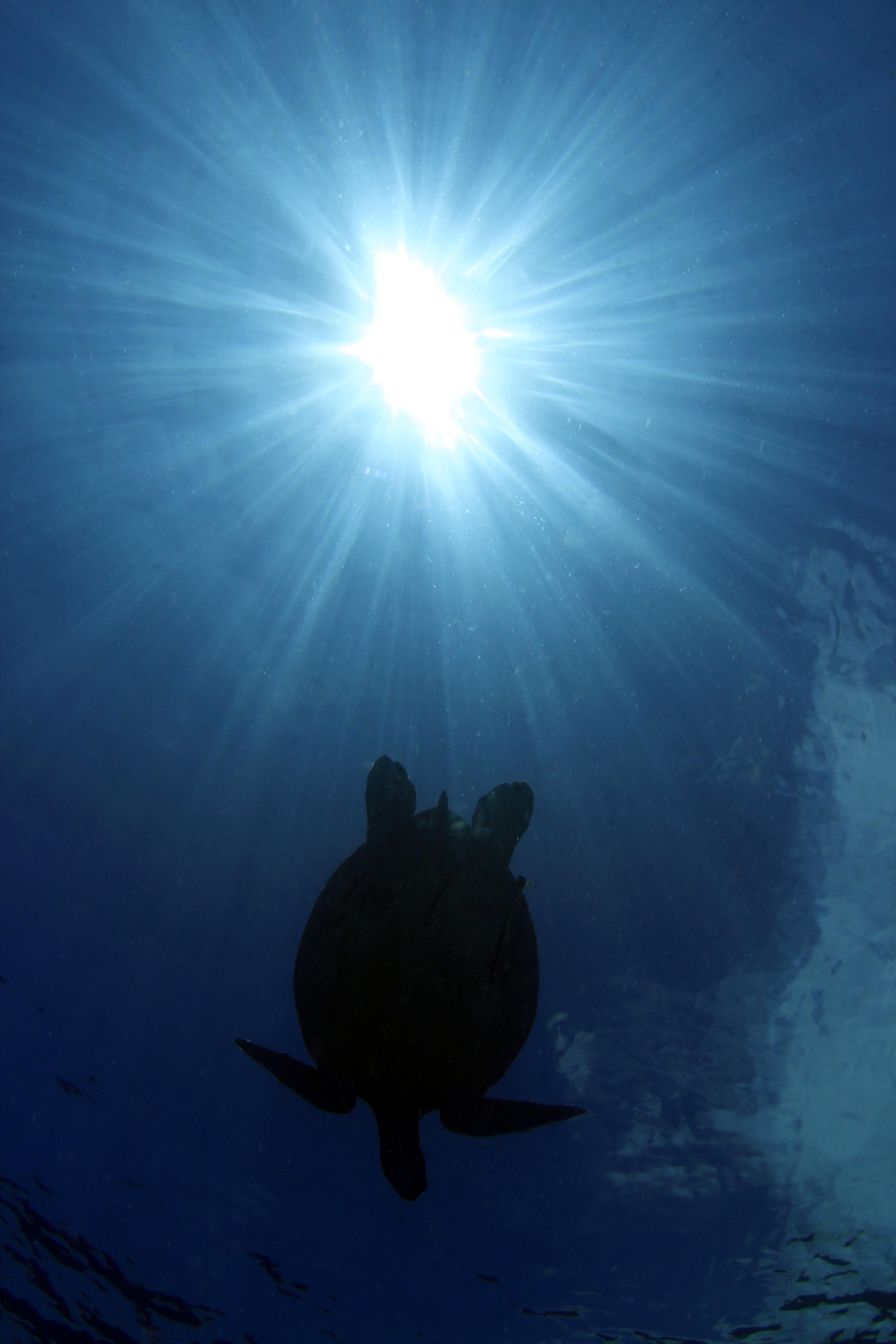 Hawkssbill Turtle