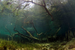 In the Mangrove