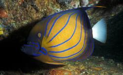 Blue - Ringed Angelfish