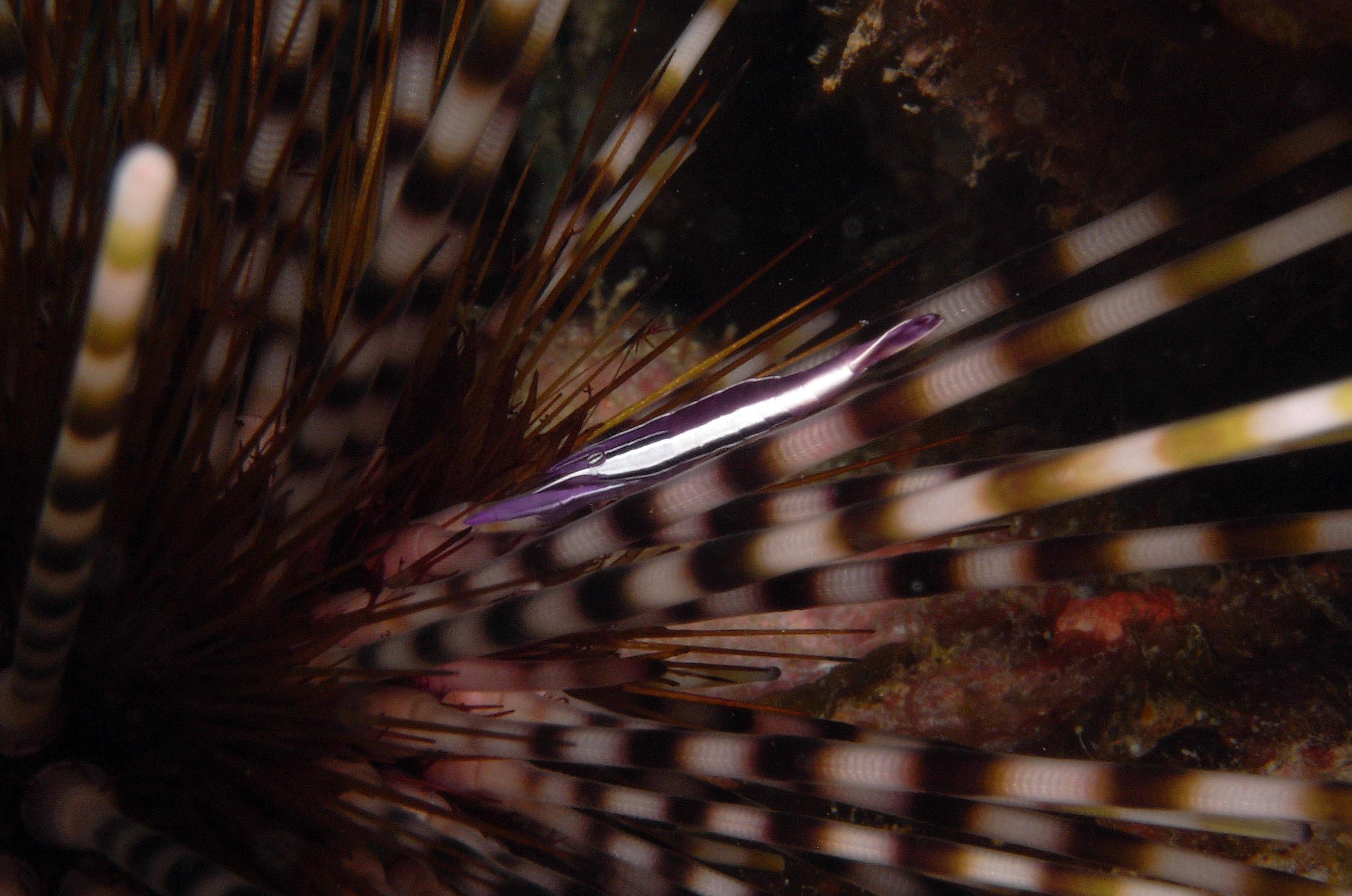 Purple Urchin Shrimp