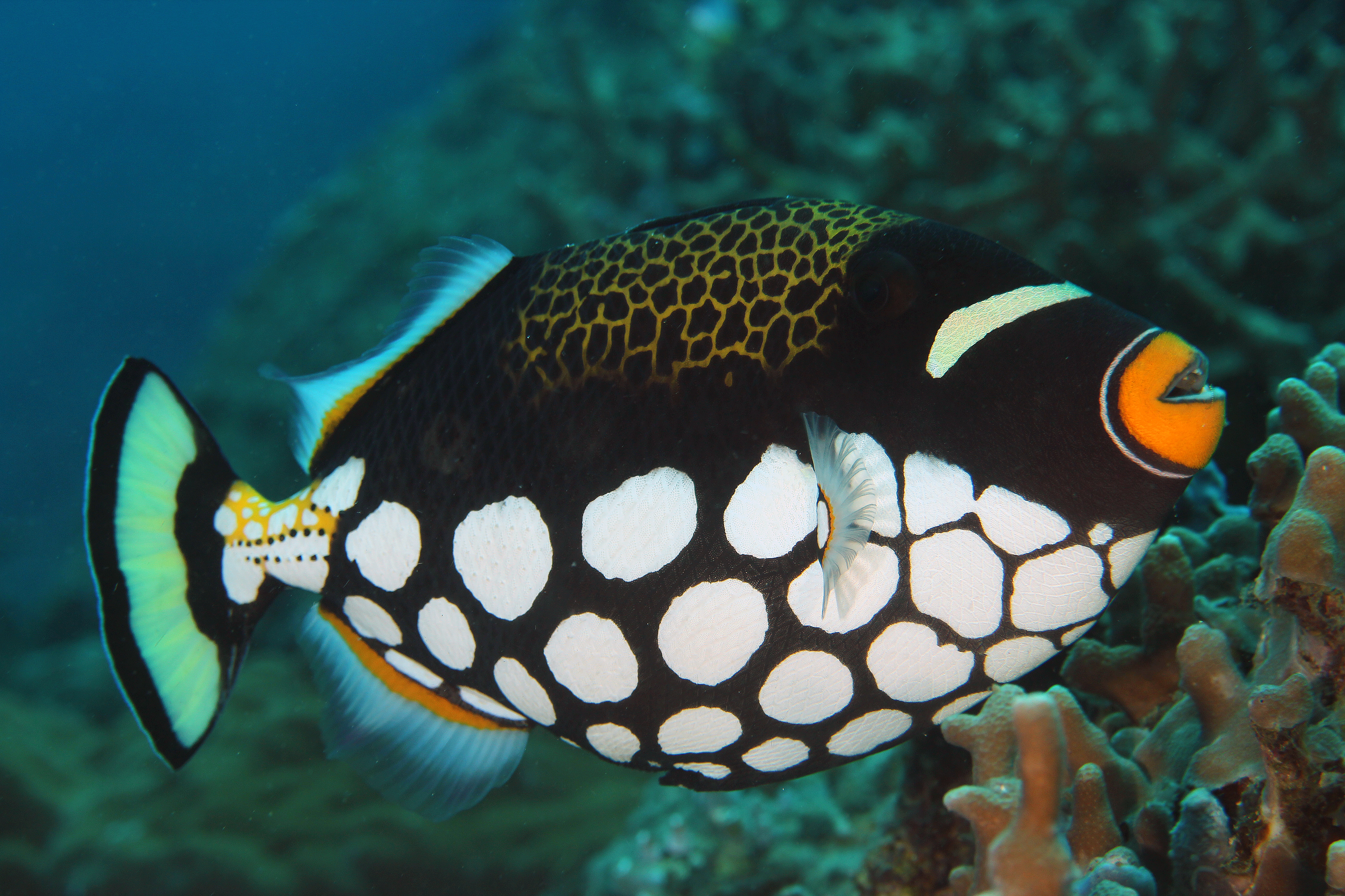 Clown Driggerfish