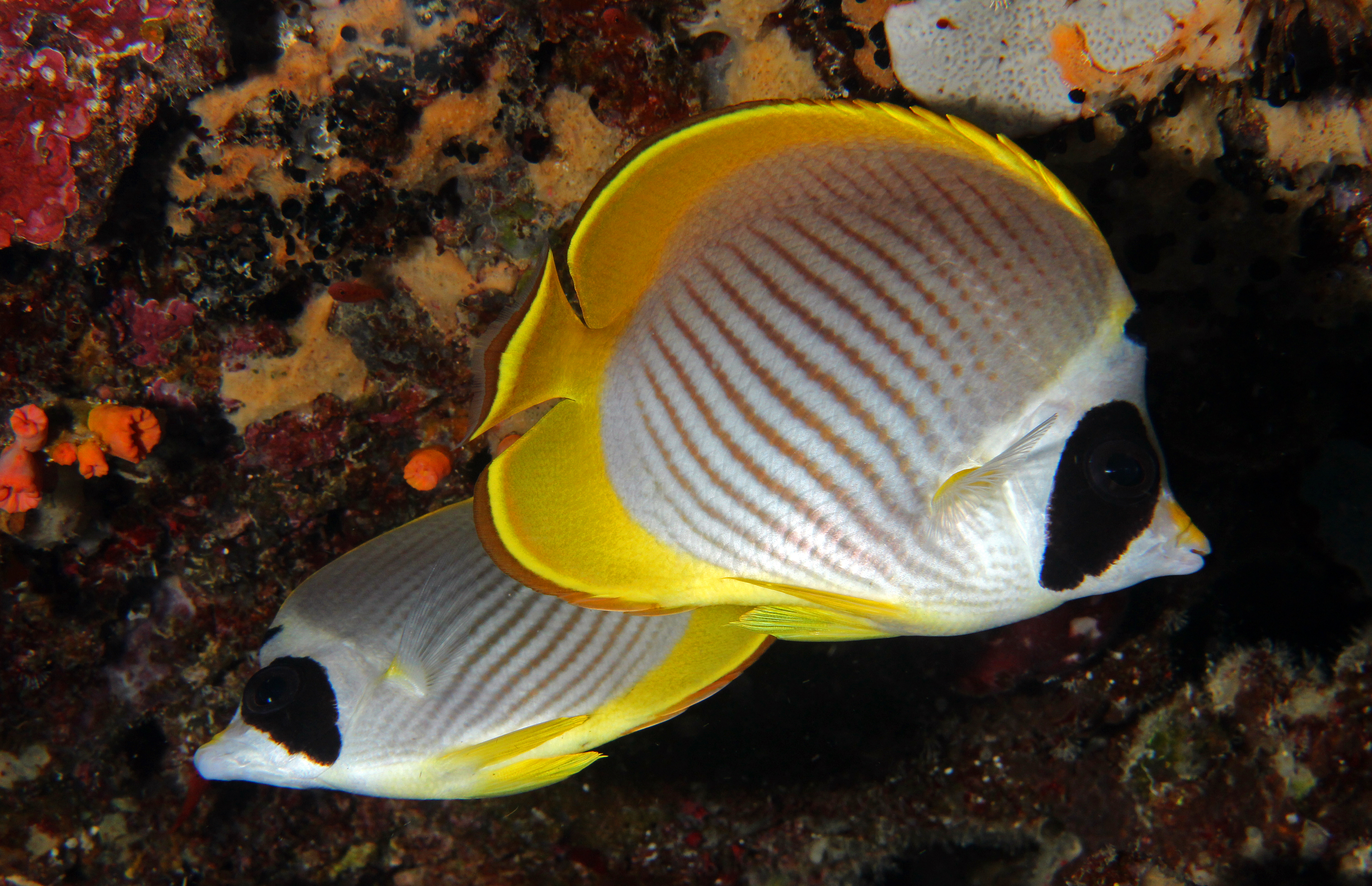Pandaschmetterlingsfische