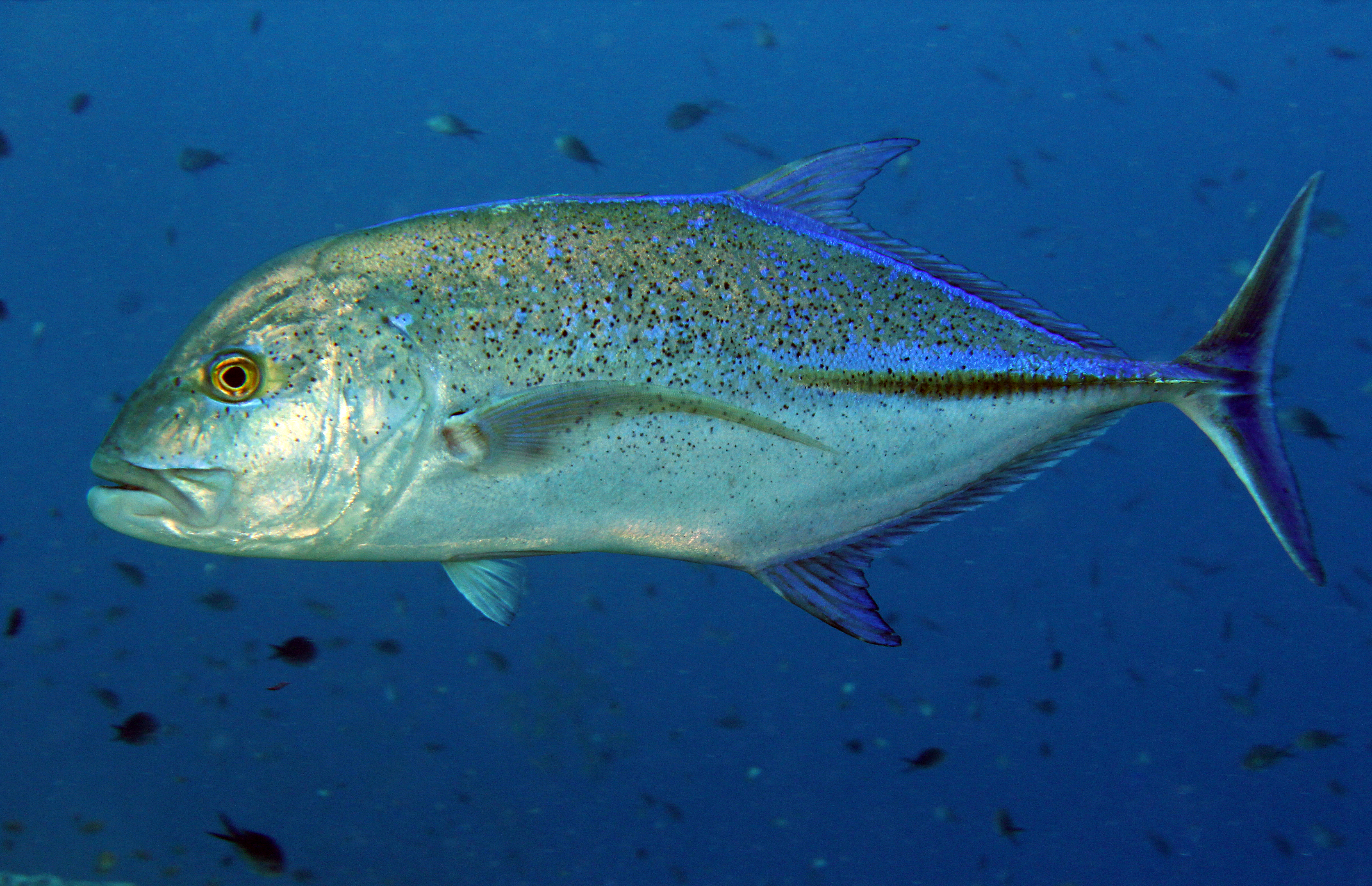 Bluefin Trevelly