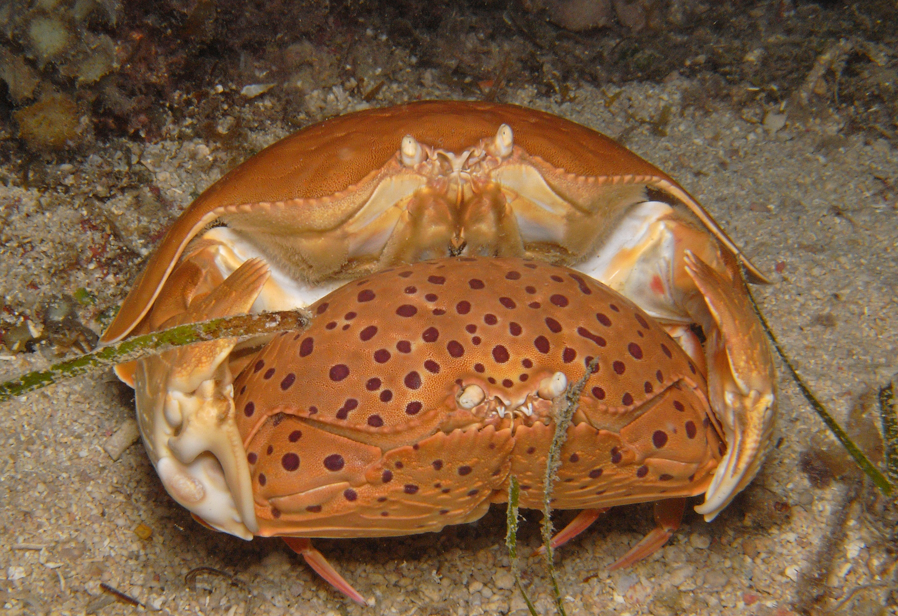 Giant Box Crab
