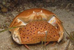 Giant Box Crab