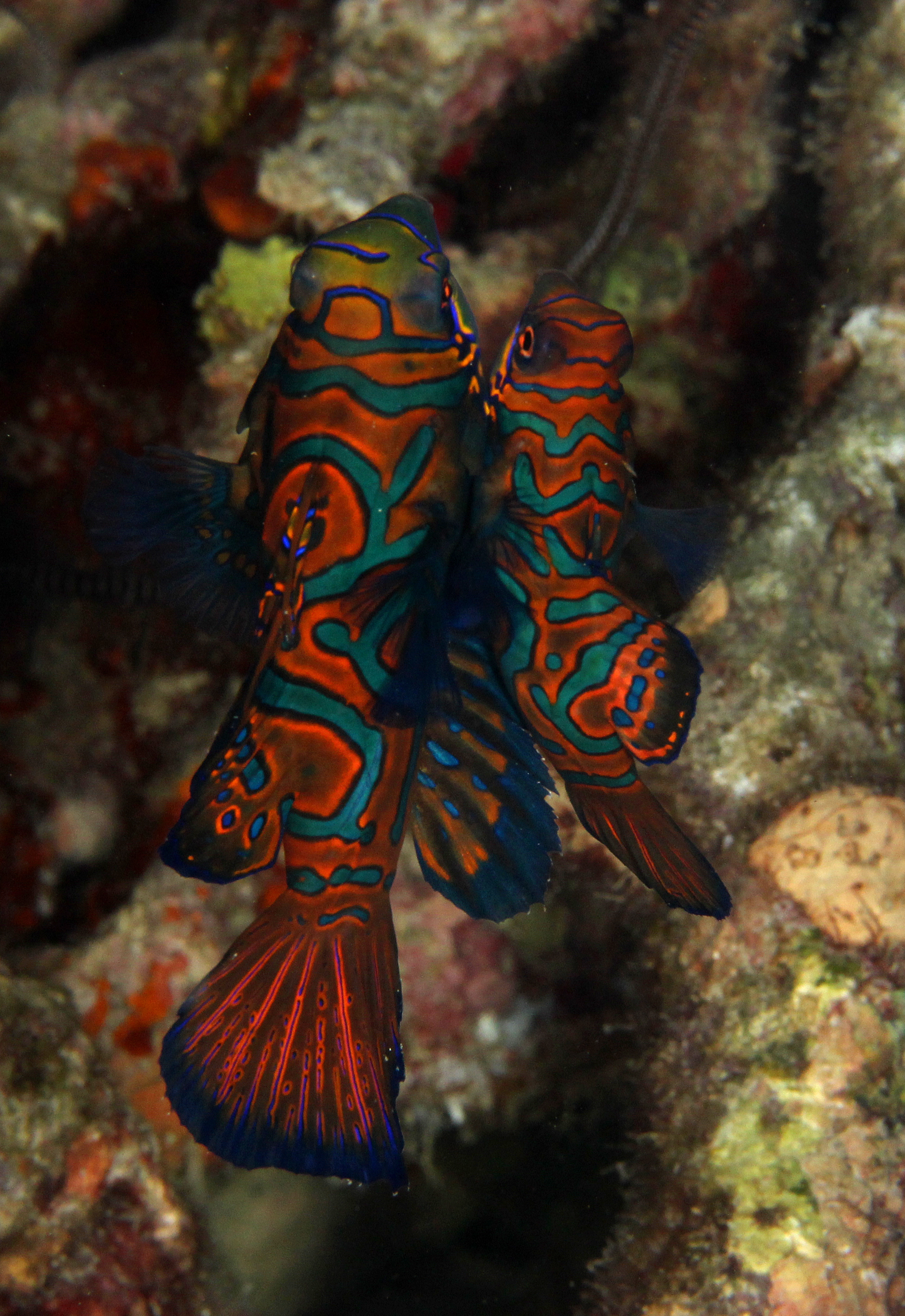 Mandarin Fishes
