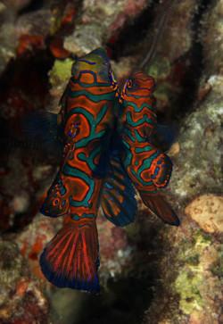 Mandarin Fishes