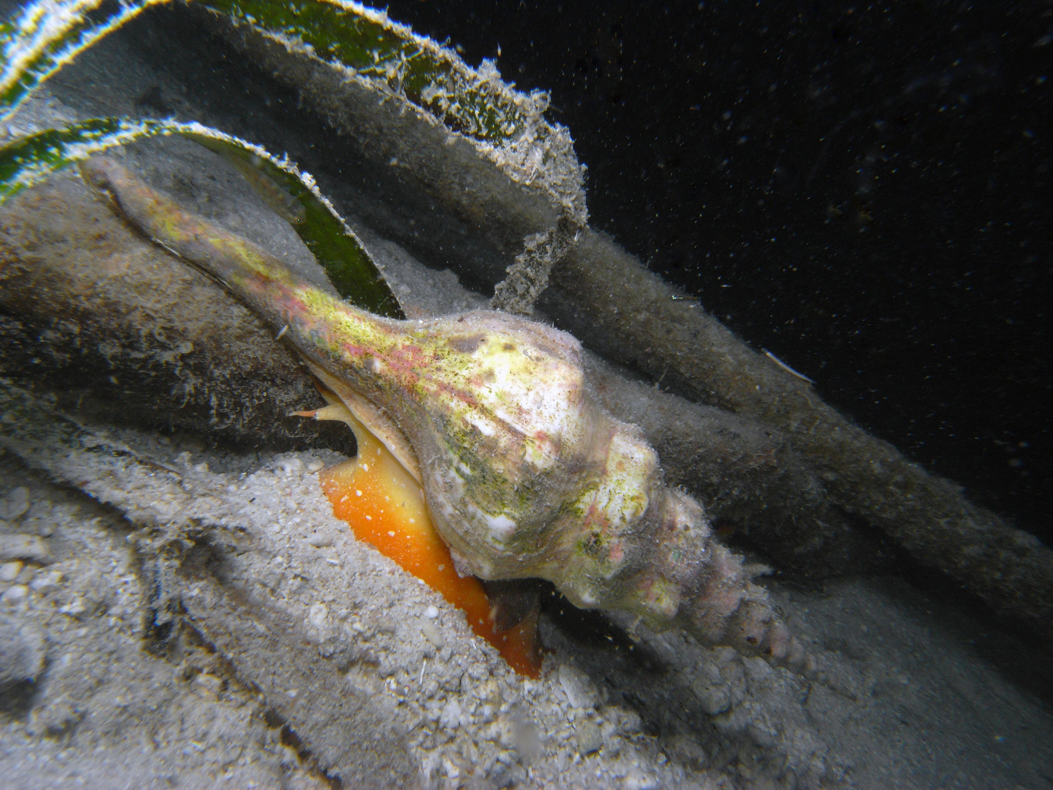 Trapezium Horse Conch