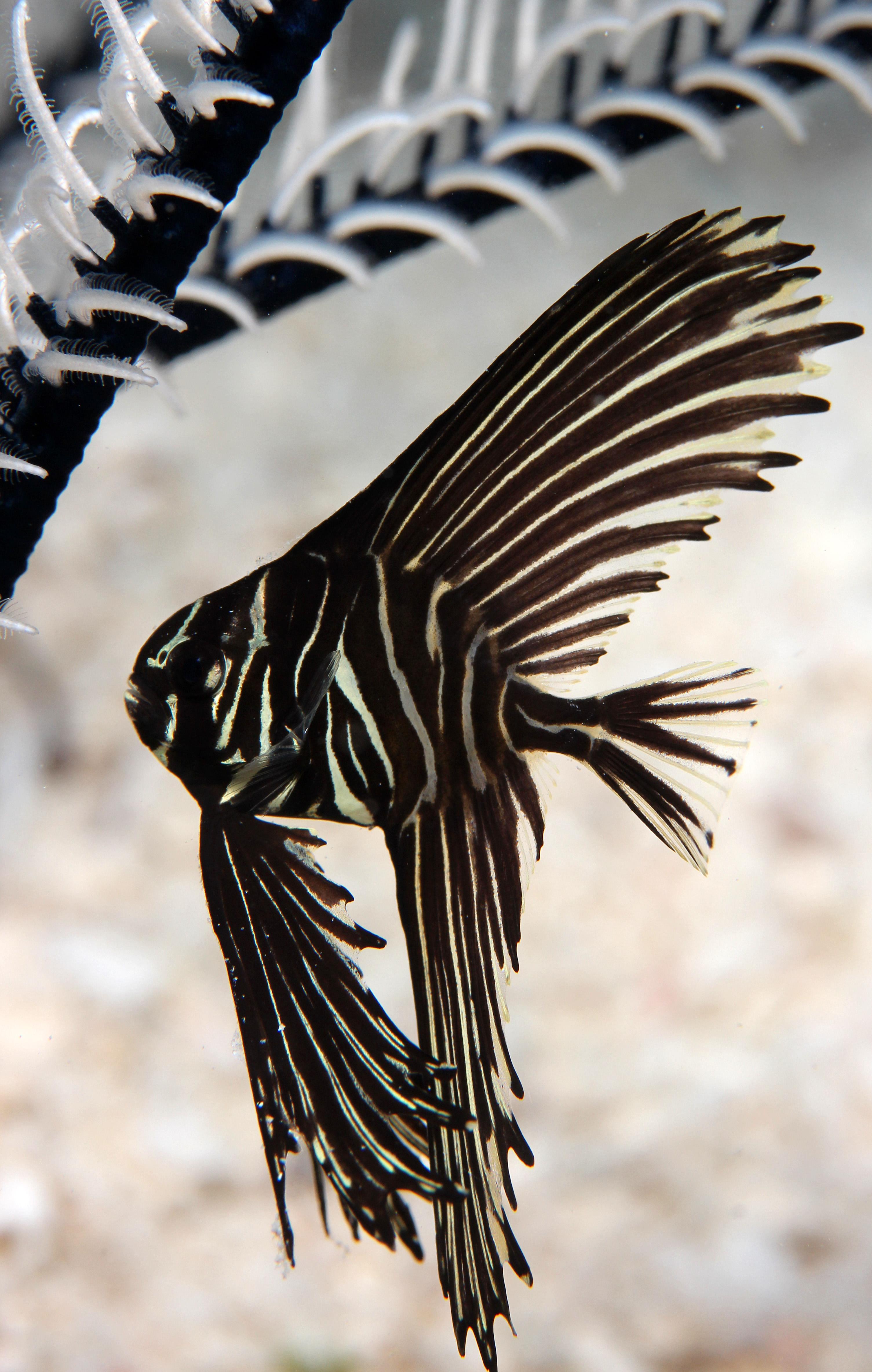 Juveniler Batavia Fledermausfisch