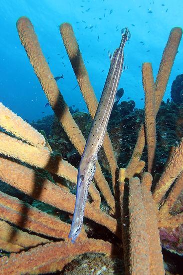 31Ein Trompetenfisch im Schwammversteck.