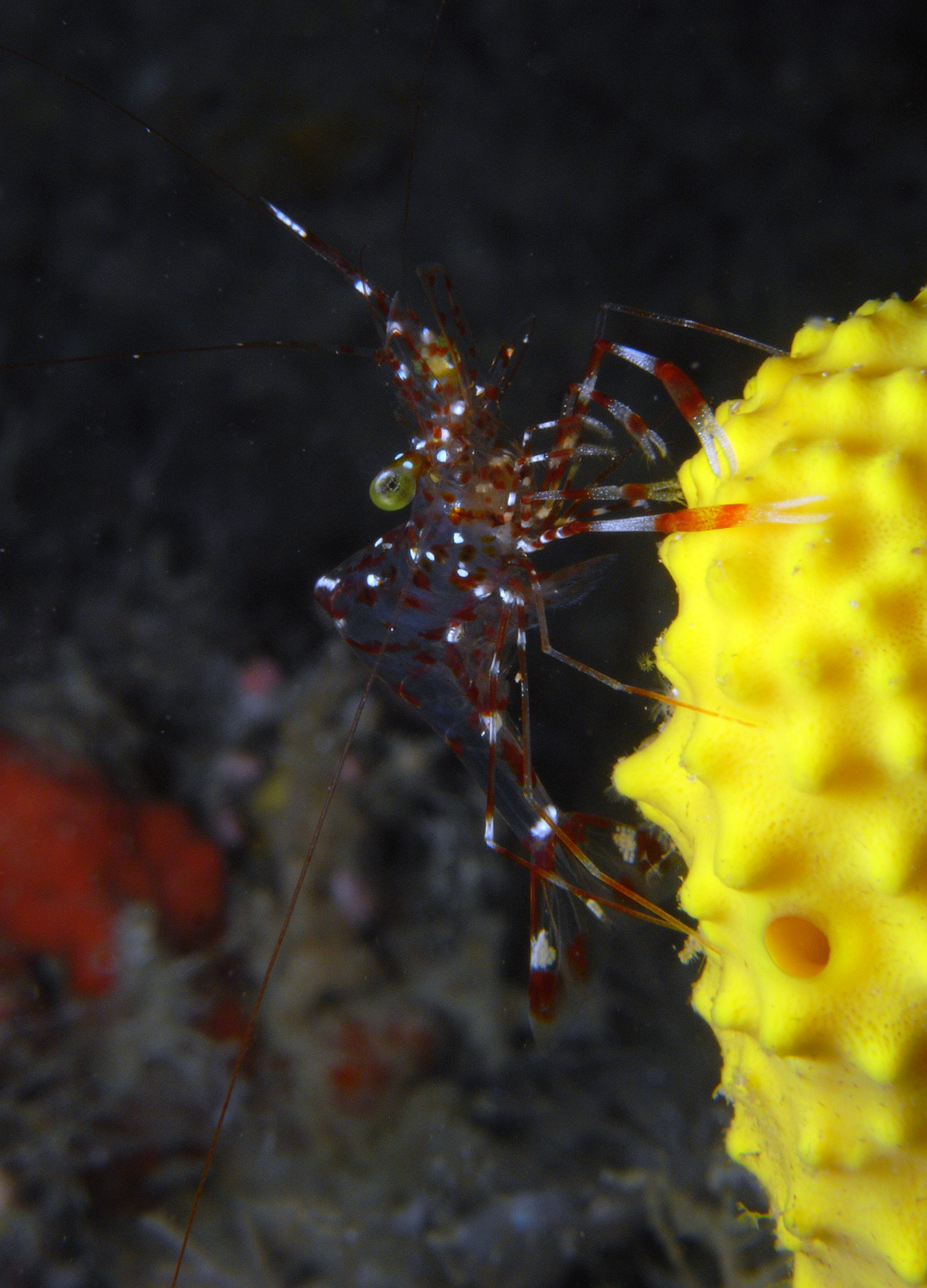 Clear Cleaner Shrimp
