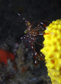 Clear Cleaner Shrimp