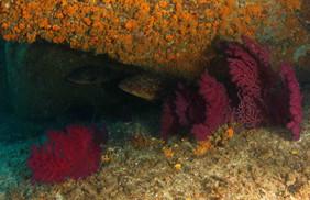 Dusky grouper, brauner Zackenbarsch.