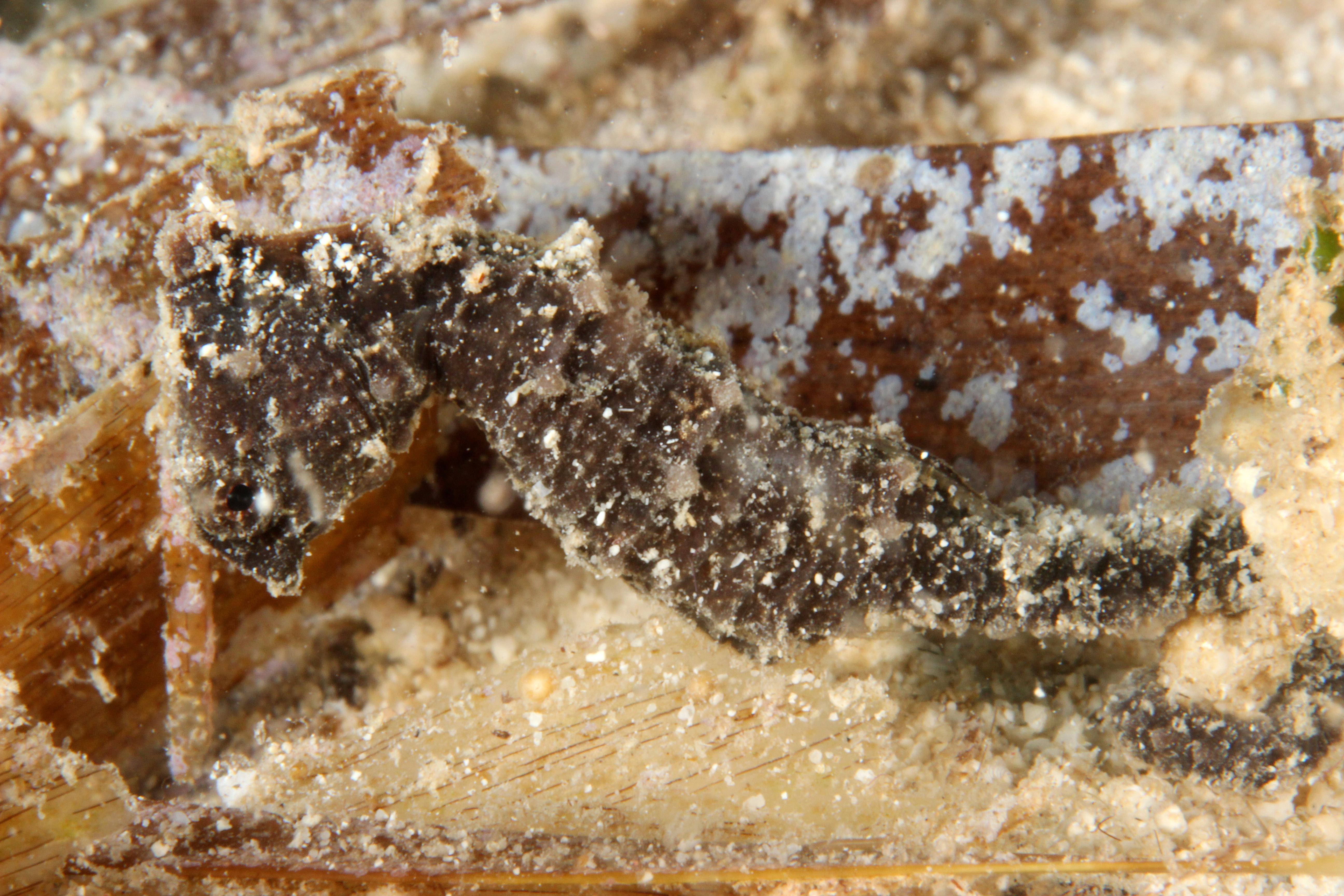 Hypocampus Lando ( 5 cm )
