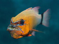 Ringtailed Cardinalfish