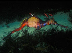 Australian Seadragon