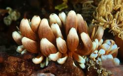 Aleoid Kabira Phillodesmium