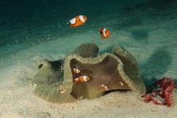 Sea Anemone hosting Anemonfish