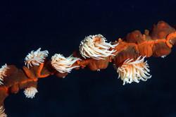 Tiger Anemone Colony