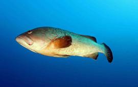 Dusky grouper, brauner Zackenbrsch