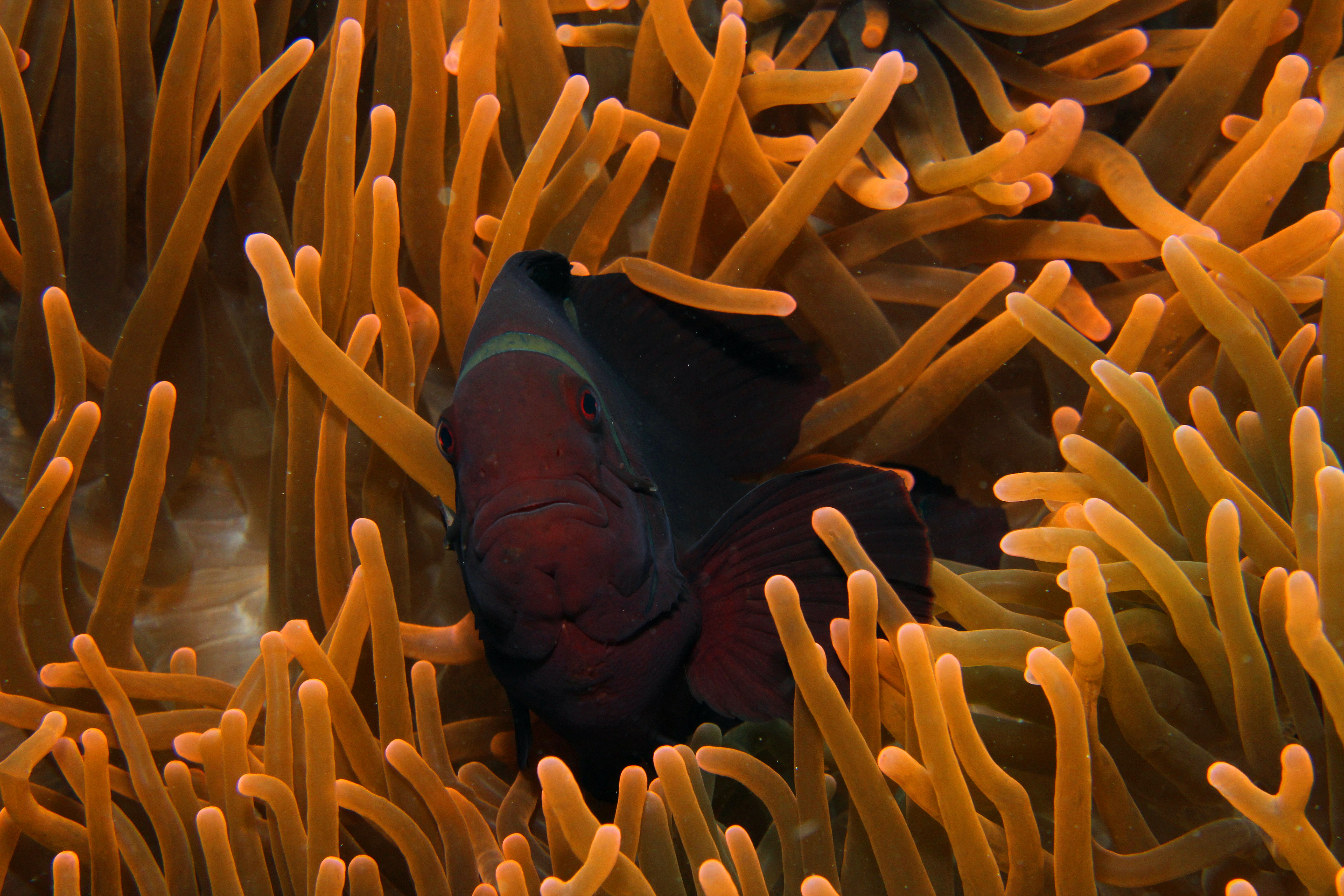 Spinecheeck Anemonefish