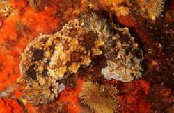 Mating Dendrodoris denisoni