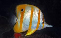 Long-Beaked Coralfish