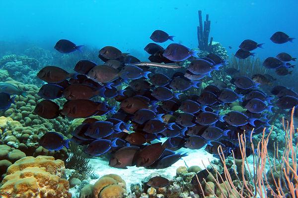 20 BIaue Doktorfische und Trompetenfisch