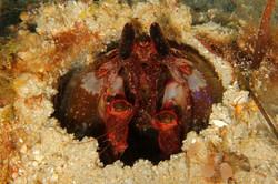 Lisa's Mantis Shrimp