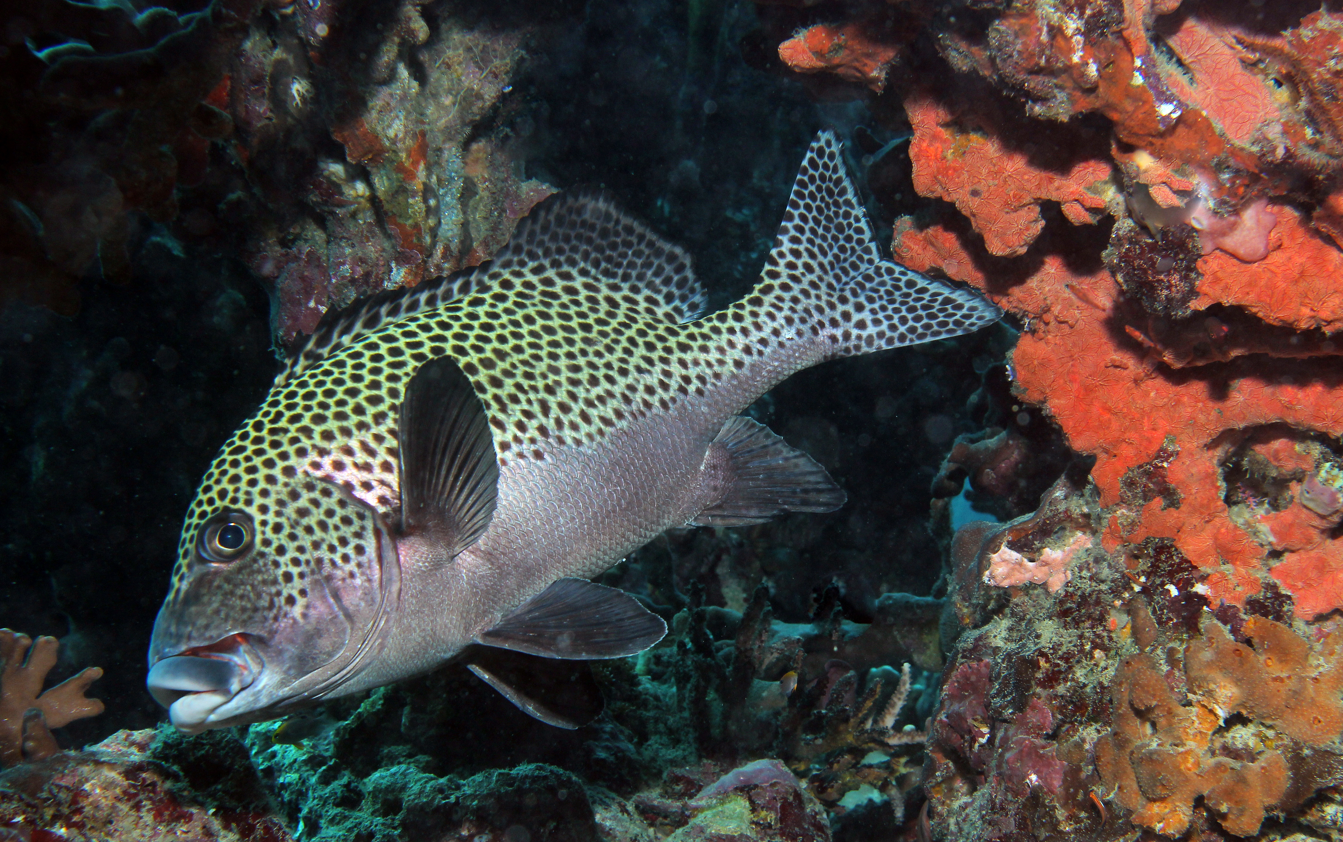 Adult Harlequim Sweetlips