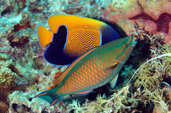 Blue-Girdled Angelfish with Parrotf
