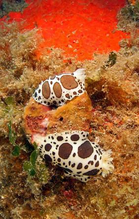 Dotted sea slug, Leopardenschnecke.