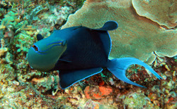 Red Tooth Driggerfish