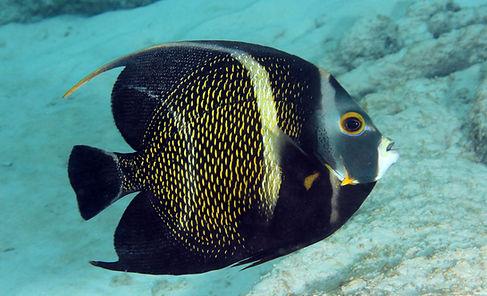 Juveniler Französischer Kaiserfisch