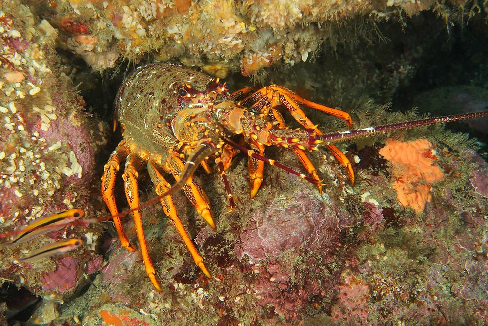Red Crayfish Milford Sound