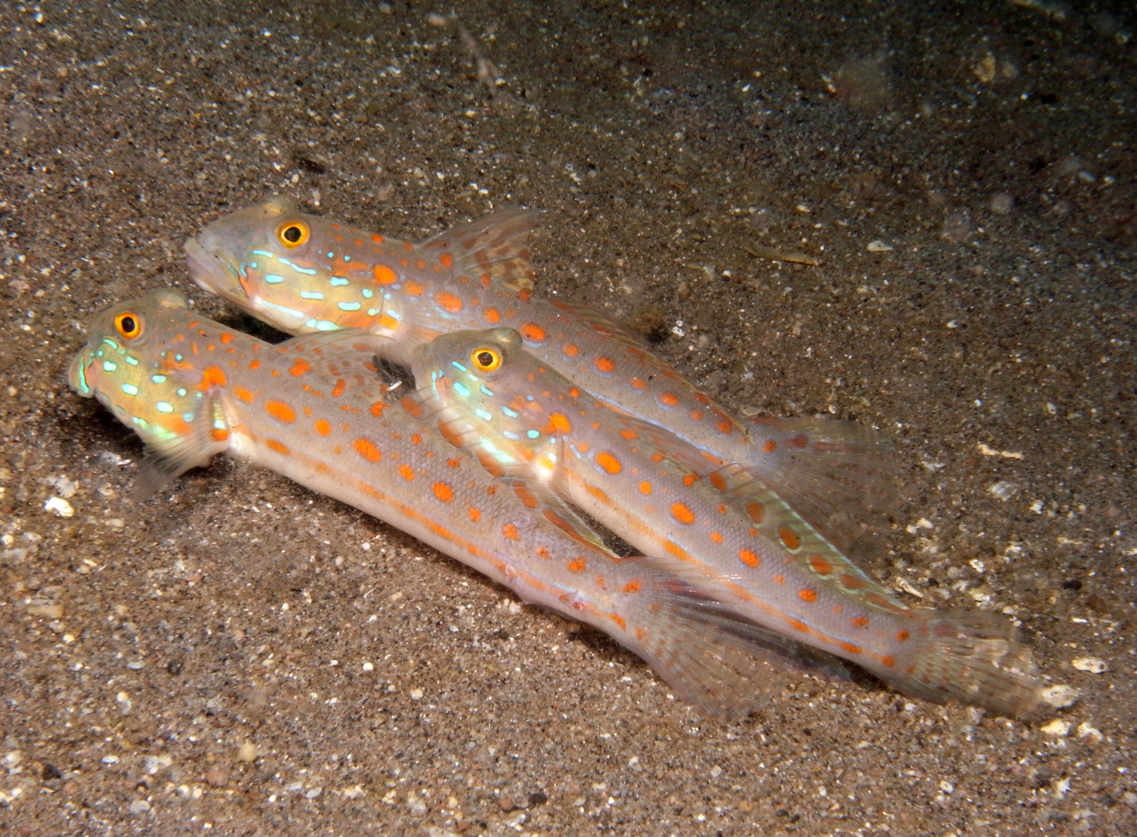 Orange Dashed Goby