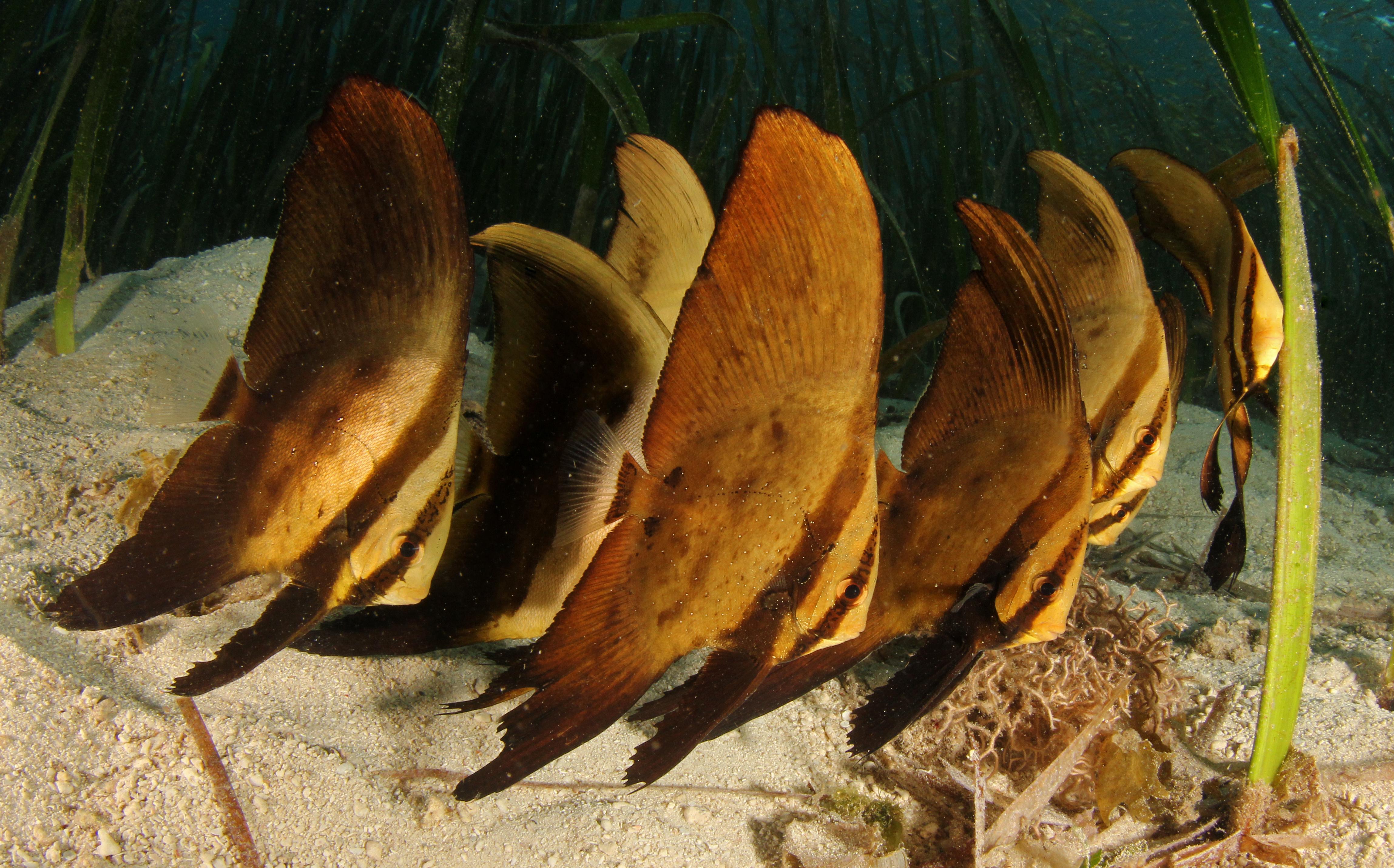 Circular Spadefish older Juvenile