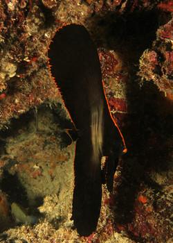 Pinate Spadefisfish Large Juvenile